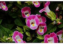 一堆开放的夏堇花