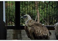 被关在笼子里的秃鹫