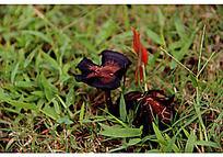 草地上的发黑的蘑菇