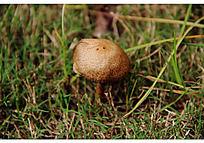 草地上的灰色圆形野蘑菇