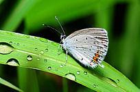 草叶上的红灰蝶