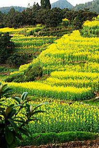 茶山油菜花