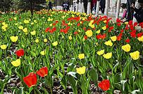 红黄相间的郁金香花丛