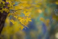 黄色的枫叶