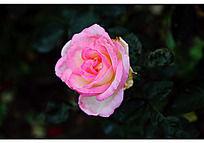 将要枯萎的粉色月季花