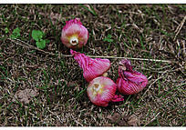 几朵枯萎的木槿花