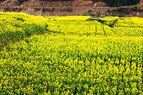 金黄色的油菜花