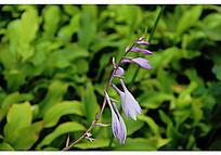 开放的紫色刻叶紫堇花和花苞