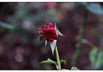 枯萎的红色玫瑰花