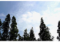 蓝色天空和绿色的松树