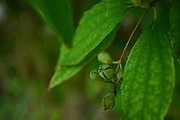 绿色叶片和含苞待放的绿色花朵