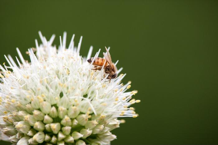 原创摄影图 动物植物 昆虫世界 怒放的葱花与小蜜蜂  请您分享: 素材