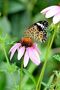 起立的凤蝶