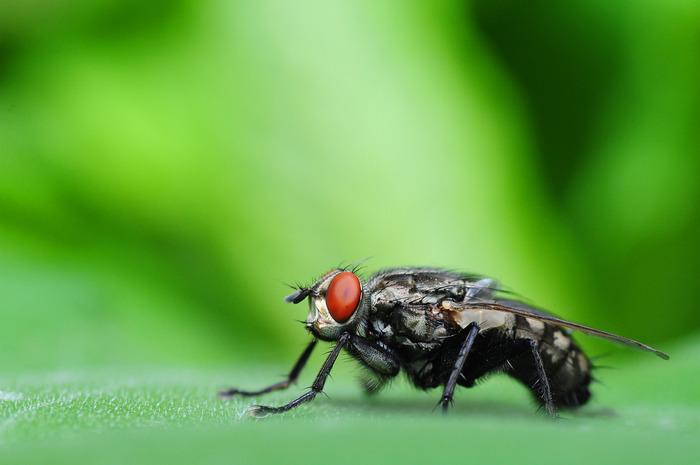 树叶上的苍蝇图片,高清大图_昆虫世界素材