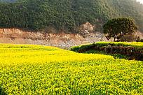 沿江油菜花