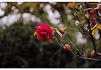 一朵红色的月季花和种子