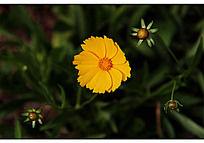 一朵黄色的金盏花