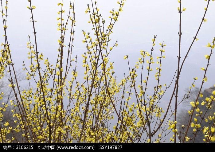 迎春花图片_动物植物图片