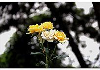 一束黄色和白色的月季花