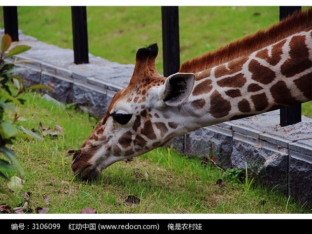 chang长颈鹿简笔画