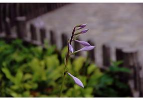 紫色的刻叶紫堇花苞