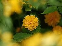深处的黄色花朵多叶片