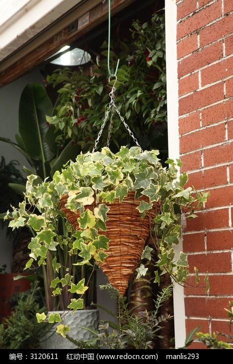 店铺门口的吊兰常青藤植物盆栽
