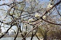 湖边梅树树枝上的白梅梅花