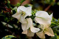 特别的花白色三角梅