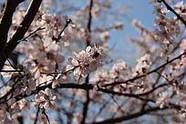 阳光下梅树树枝上的白梅花