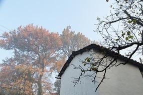 婺源石城的徽派民居与千年古枫树