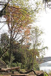 湖边的红叶红枫树