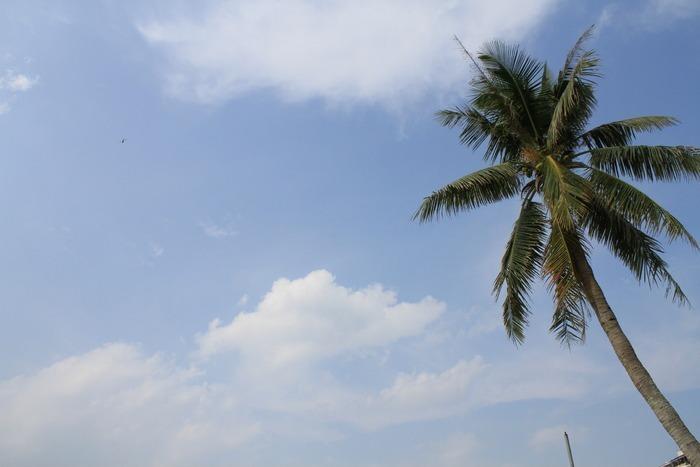 原创摄影图 动物植物 树木枝叶 蓝天白云下的椰子树