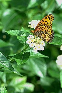 白色花与凤蝶