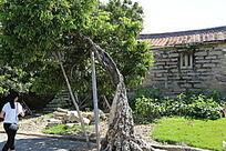 空心的百年老树