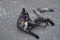 舔身体的黑猫