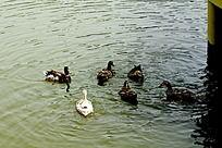 北京郊区野鸭湖野鸭白色和黑色飞禽