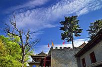 城墙上的松树
