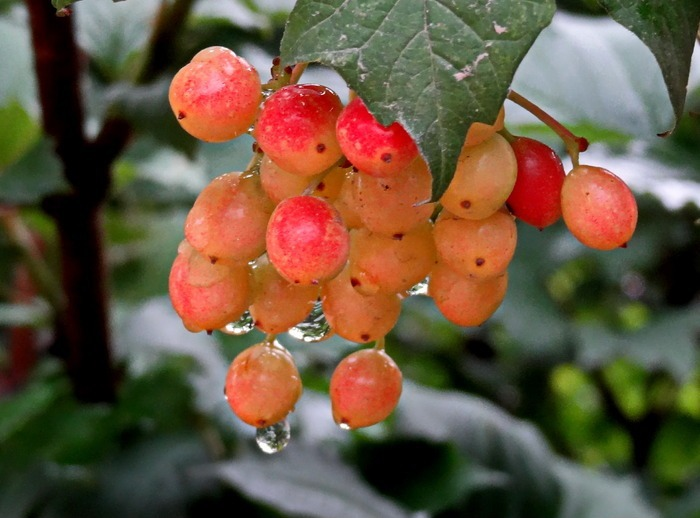 大提子粉红色甜薄皮葡萄果实藤叶子