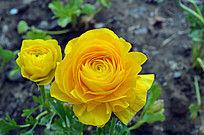 黄色玫瑰花图片
