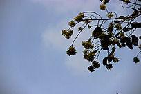 蓝色天空下的树枝上的绿色种子
