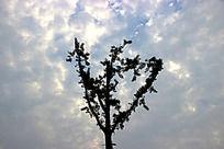 蓝色天空下的银杏树的枝叶