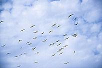 蓝天上的飞鸟图片