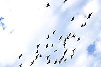 蓝天下飞翔的鸽子