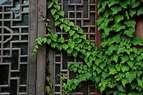 爬满了绿色爬山虎的木门