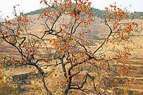 青州柿子沟一棵果实累累的柿子树
