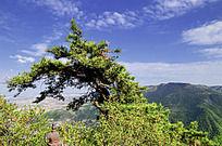 崆峒山上一棵倾斜的松树