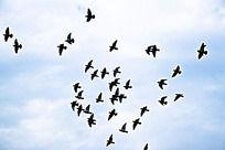 天空中的鸟群图片