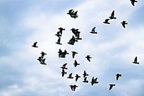 展翅飞翔的鸽子鸟群