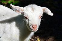 白色的小羊特写